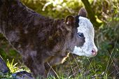 Baby Cow