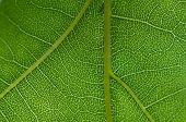 Oak Tree Leaf