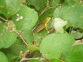 Hide-and-seek Lizard