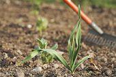 Junge gesund Knoblauch (Allium Sativum) Pflanze.