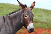 foto of burro  - One of the famous begging burros of Custer State Park in South Dakota - JPG