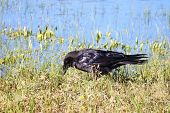 Raven (Corvus corax) In Yellowstone