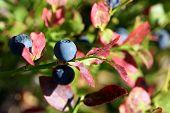 Bilberry (Vaccinium Myrtillus) In Autumn Colors