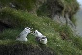 Seagulls on Mykines, Faroe Islands