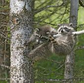 Baby Raccoons Hanging Out