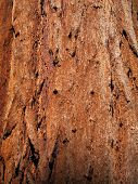 Bark of giant sequoia tree trunk
