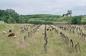 Derelict Grape Vines With Sheep