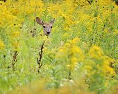 foto of goldenrod  - Whitetail Deer Doe head sticking up in a field of goldenrod - JPG