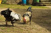 stock photo of cockfight  - fight of two roosters on a farm - JPG