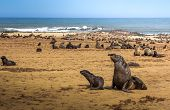 Seal Fur Colony At Cape Cross Seal Reserve, Namibia. Cape Cross Is A Small Headland In The South Atl poster