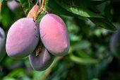 Cultivation Of Exotic Sweet Fruit Mango In Subtropical Malaga-granada Tropical Coast Region, Andalus poster