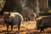Wild Boar Or Sus Scrofa, Also Known As The Wild Swine, Eurasian Wild Pig poster