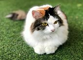 White-brown Persian Cat Purebred Interesting And Looking Something Laying On Artificial Turf With Fl poster