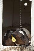 Cow At Dairy Farm