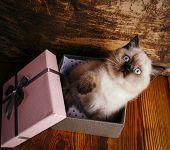 Scottish Straight Cat Cream Color. Scottish Purebred Kitten poster
