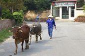 Vietnamesische Bauer mit Wasserbüffel