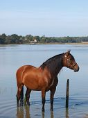 Andalusian Spanish Horse