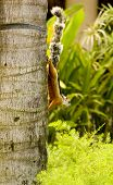 Costa Rican Squirrel In Tree