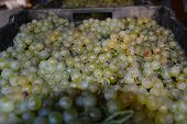 White Grape As Food Background. The Close Up Of Tasty Natural And Fresh Grapes. Close Up Image Of Yu poster