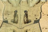 Cute Meerkat At Enclosure In Zoo On Sunny Day poster
