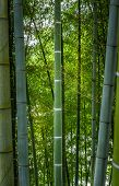 Real Live Bamboo Forest Background With Beautiful Large And Thick Trunks. Bamboo Trunks Are Colored  poster