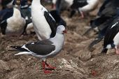 Dolphin Gull (leucophaeus Scoresbii) Scavenging Around The Edge Of A Large Nesting Colony Of Imperia poster