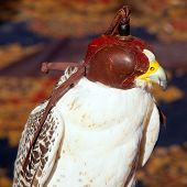 bird falcon with falconry blind hood in brown leather
