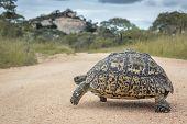 Leopard Tortoise Crossing Safari Gravel Road In Kruger National Park, South Africa ; Specie Stigmoch poster