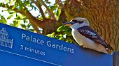 stock photo of kookaburra  - This Kookaburra was providing guidance to the Palace Gardens in Sydney - JPG