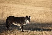 A North American Wolf (canis Lupus) Staying In The Dry Grass In Front Of The Forest. Calm, Black And poster