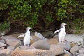 Juvenile Nz yellow eyed Pinguine oder Hoiho am Ufer