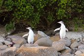 Juvenile NZ Yellow-eyed Pinguine oder Hoiho am Ufer