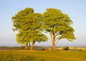 Beech trees on Cothelstone Hill in the Quantock Hills in Somerset