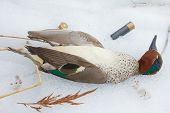 take European teal (Anas crecca)