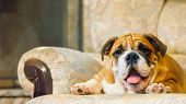 English Bulldog Puppy Red-haired With White Colored Closeup Portrait British Breed poster