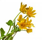 Blossom of Lesser Celandine , Ficaria Verna Flower, isolated on white