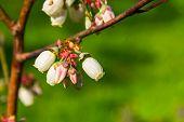 Dewdrops On Bog Whortleberries Flowers (vaccinium Uliginosum).