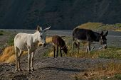 Tajikistan. The Pamir Highway. The Domestic Donkey Is A Domesticated Subspecies Of The Wild Donkey W poster