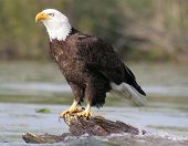 Bald Eagle Sitting On Log
