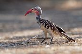 Southern Red-billed Hornbill - Tockus Erythrorhynchus Rufirostris  Family Bucerotidae, Which Is Nati poster