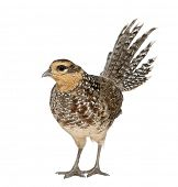 Female Reeves's Pheasant, Syrmaticus reevesii, can grow up to 210 cm long,, standing in front of whi