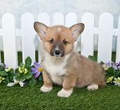 pic of corgi  - Cute Corgi puppy sitting in front of a white picket fence with flowers - JPG