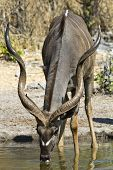 picture of greater  - Greater Kudu at the watering hole in South Africa - JPG