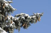 Pine Branches With Snow