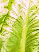 Closeup Of Fresh Cos Salad Leaf As  Background
