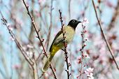 pic of bulbul  - The white - JPG