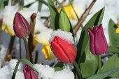 stock photo of blanket snow  - Spring tulips and daffodils in a blanket of snow - JPG