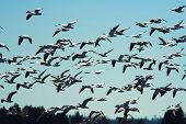 Flight Of The Siberian Snow Geese