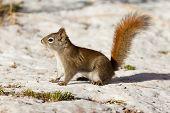 Alert cute American Red Squirrel in winter snow