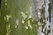 Plane Tree Bark